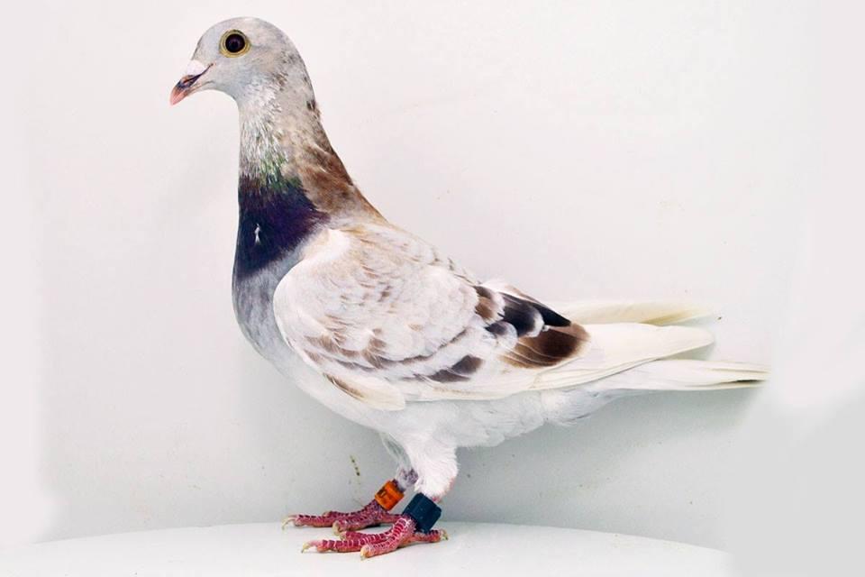 Dünyanın En Pahalı Yarış Güvercini