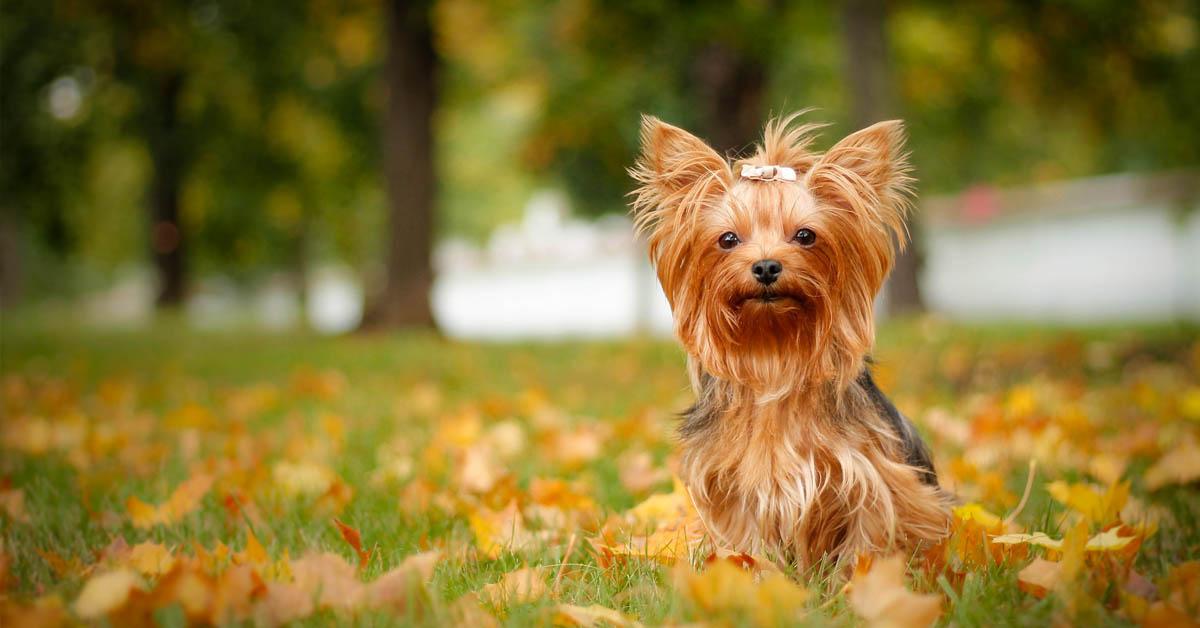 Yorkshire Terrier Bakımı Nasıl?