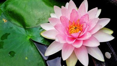 Lotus Çiçeği Bakım Önerileri