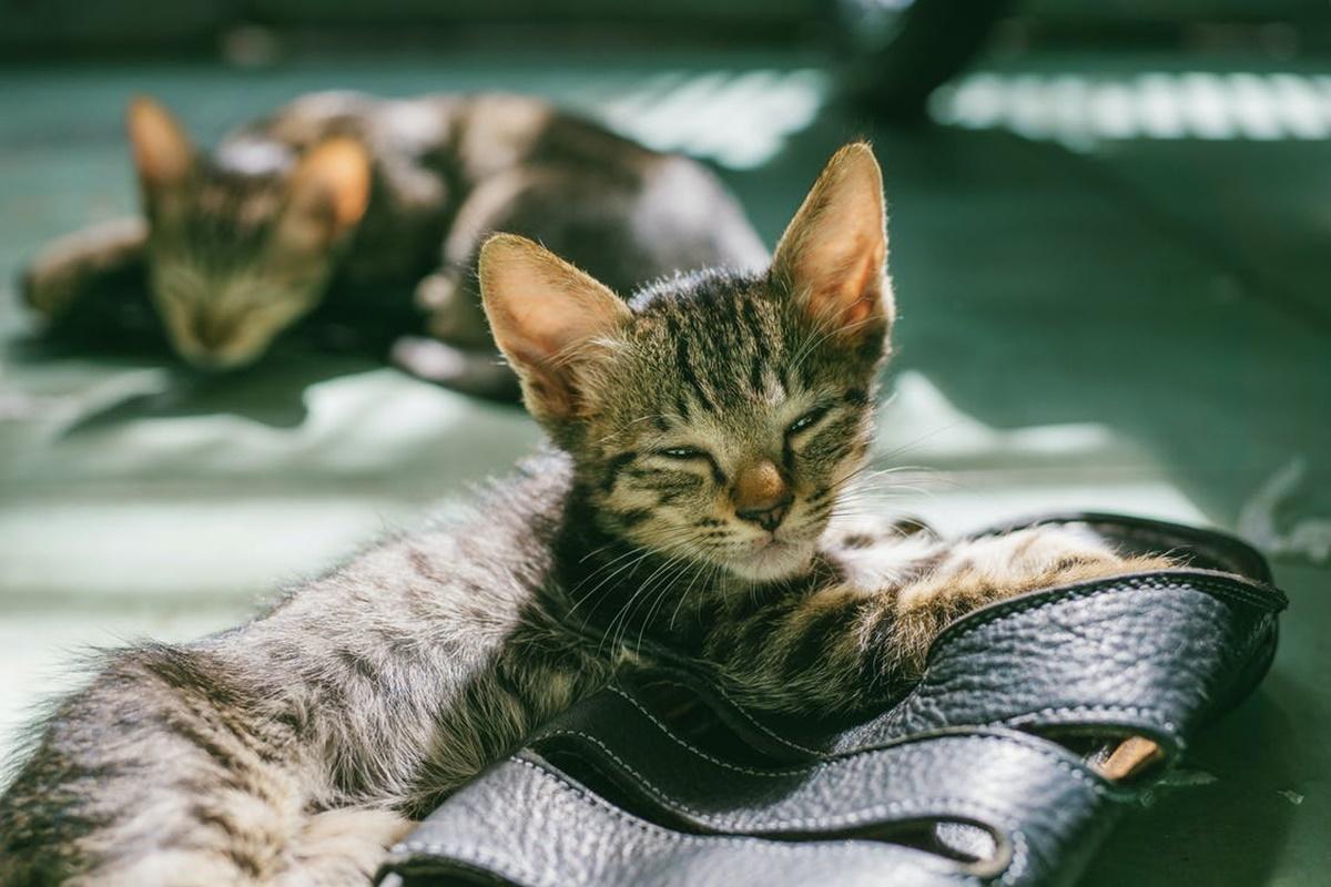 Kedilerde Gençlik Hastalığı Ne Demektir?